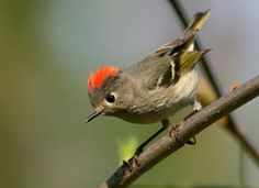 ruby-crowned kinglet ~ Usually doesn't show the red feathers on top of his head unless alarmed or courting. Must be a gorgeous prospective mate down there!