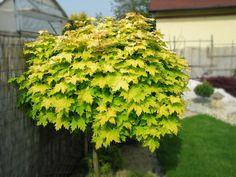 Järvselja Õppe- ja Katsemetskond   Acer platanoides- harilik vaher 'Golden Globe' Deciduous Trees, Golden Globes, Herbs, Fruit, Garden, Plants, Acer, Garten, Lawn And Garden