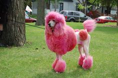 unique poodle cuts | Poodle Dog With Pink Fur Color Poodle, Curly Dog are Suitable for ...