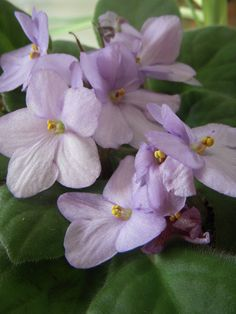 The flower of Sigma Kappa is the violet.