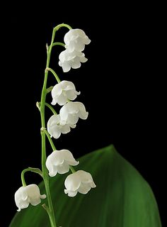 "Because Grandma always had these in her yard.....    500px / Photo ""Lily of the valley"" by Vendenis ."
