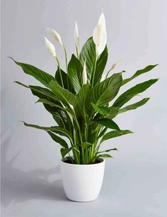 Peace Lily Air Purifying Plant – Easy Care Low Light Houseplant, Housewarming Present, Sympathy Gift, indoor Garden - House Plants Best Indoor Plants, Cool Plants, Buy Plants, Indoor Plants Low Light, Indoor Herbs, Indoor Gardening, Container Gardening, Indoor Outdoor, Jade Plants