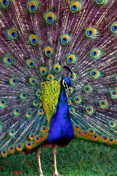 Peacock #love #spiritanimal