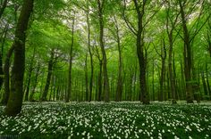 https://flic.kr/p/HdSRHJ | The forest awakening | After a cold April, nature completely exploded now and everything looks like this again!  The beech is not such a common sight in Norway... Larvik has Norway's biggest and the world's northernmost public beech forest.  Oh, by the way... If you are using Hahnel products...: They have the best service!! I contacted the main office in Ireland about my wireless remote that got fried in Iceland and they sent me a brand new one within a couple of…