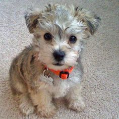 Poodle/Schnauzer mix. So cute!