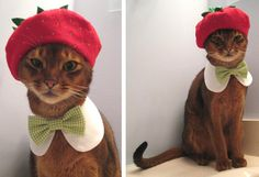 CATatelier: For the Fashion-Forward Feline! So redonk it's fabulous. This little Abyssinian's face KILLS me.