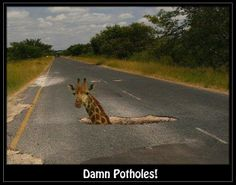 Pothole with giraffe Funny Giraffe, Kruger National Park, My Land, Live, Funny Photos, Humorous Pictures, The Funny, South Africa, Funny Animals