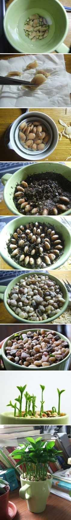 Plant lemon seeds. Lemon leaves smell so good.~ wow going to try this!