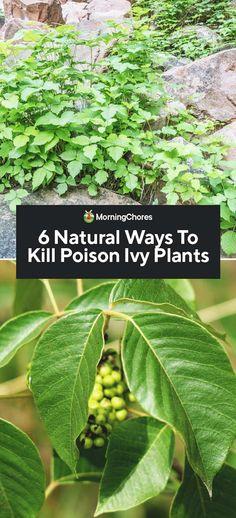 6 Natural Ways To Kill Poison Ivy Plants - Modern Design Buy Flowers Online, Buy Plants Online, Container Gardening Vegetables, Succulents In Containers, Container Plants, Vegetable Gardening, Ivy Plant Indoor, Indoor Outdoor, Outdoor Ideas