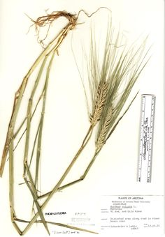 barley plant diagram | source images | Pinterest | Plants
