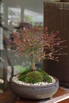 Bonsai Maple Kashima