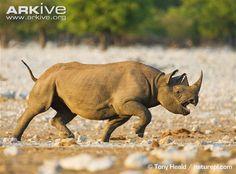 Black rhinoceros charging - View amazing Black rhinoceros photos - Diceros bicornis - on ARKive
