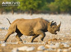 Black rhinoceros charging - View amazing Black rhinoceros photos - Diceros bicornis - on ARKive