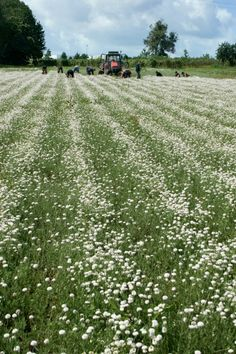 Die Yves Rocher Kamillen-Felder von La Gacilly. #yvesrocher #beauty #kamille