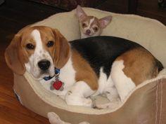 Shillington Kennels - Beagle Picture Gallery