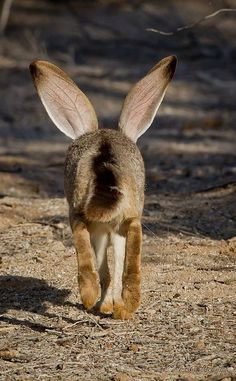 South end of a northbound black-tailed jackrabbit ~ Buckeye, Arizona by etta