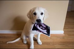 24 Dogs Stealing The Spotlight In Their Human's Pregnancy Announcement: Lab puppy holding sonogram Creative Pregnancy Announcement, Pregnancy Photos, Baby Announcements, Baby Announcement With Dogs, Maternity Photos, Photos With Dog, Foto Baby, Everything Baby, Baby Time