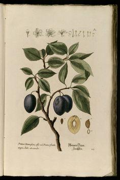 Knorr, G.W., Thesaurus rei herbariae hortensisque universalis, vol. 1: t. 115 (1750-1772)