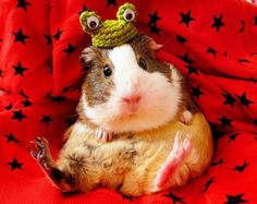 Peruvian Guinea Pig – Peruvian guinea pig is considered one of the most attractive breeds. Peruvian Guinea pig as the name suggests, is native from Peru and a… Cute Baby Animals, Animals And Pets, Funny Animals, Animal 2, Mundo Animal, Pet Guinea Pigs, Cute Piggies, Cute Animal Pictures, Animals Beautiful