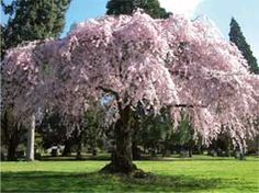 blosdom peachy cherry pic Mature