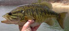 small mouth bass fish