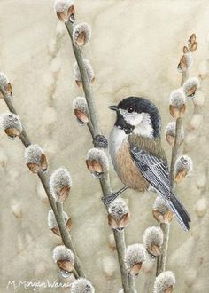 """icu ~ Pin on Bird Photos and Art Images ~ Jun 2019 - Watercolor Chickadee on pussy willows - """"swinging in the rain"""", by M Morgan Warren Watercolor Bird, Watercolor Paintings, Watercolor Portraits, Watercolor Landscape, Abstract Paintings, Bird Drawings, Animal Drawings, Pencil Drawings, Wildlife Art"""