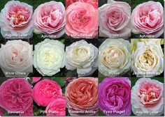 ideas for garden rose types peonies Flower Centerpieces, Flower Arrangements, Colorful Flowers, Beautiful Flowers, English Tea Roses, Flower Chart, Flower Identification, Rose Varieties, Types Of Roses
