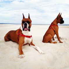 Boxer dogs on the beach by leona Big Dogs, I Love Dogs, Cute Dogs, Boxer Puppies, Dogs And Puppies, Dogs 101, Doggies, Beautiful Dogs, Animals Beautiful