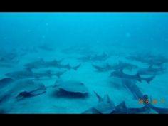 Japanese  Shark Feeding DIVE   ITO