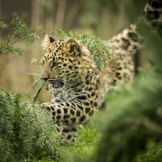 redwingjohnny:  Amur Leopard cub… by www.matthewhartphotography.com on Flickr.