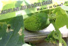 Gurkenpflanzen Bilden Lange Ranken Die Sich Ebenerdig Nach Allen Seiten Ausbreiten Aufwarts Gurke Gurken Rankhilfe Gurkenpflanze