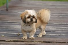 """Read """"Lhasa Apsos for Beginners"""" by Sara Fitzgerald available from Rakuten Kobo. The Lhasa Apso is gentle, happy, outgoing and devoted little dog. Unique Dog Breeds, Rare Dog Breeds, Tosa Lhasa Apso, Animals And Pets, Baby Animals, Funny Animals, Dog Area, Pet News, Companion Dog"""