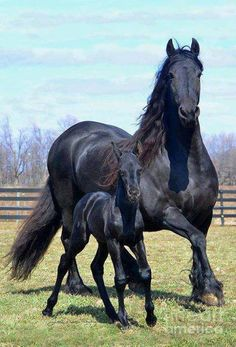 Black Friesian broodmare and foal