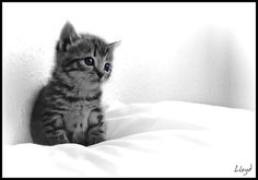 Black and white photo of striped kitten