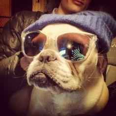 Napoleon - Frenchest bulldog   VSPETS - The Internet Pet Competition - www.vspets.com