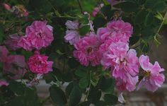 un diario giardino: rose