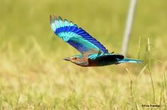 Indian Roller (Coracias benghalensis) Low-flying bird, showing its characteristic wing pattern. Animal Pick, Indian Roller, Bee Eater, Bird Feathers, The Help, Wings, Pattern, Animals, Rollers