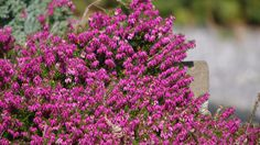 Erica carnea (Heather) - Want colour all winter long?  Plant heather!  This species has sporadic  blooms that start in fall and appear in mild spells until March on the evergreen, rosemary-like foliage. Blooms less prolifically in the north, if at all, and wont bloom in full anywhere until March.  Grows 1' tall and 2' wide and needs sun, well-drained or rocky soil and some acidity, just like the moors and alpine regions of Europe where it is a native.  Many, many varieties and colours…