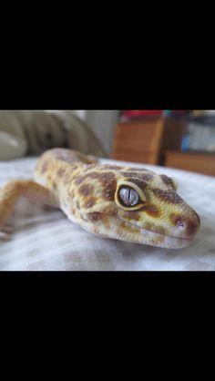 Leopard Gecko - Chocolate Tremper Albino