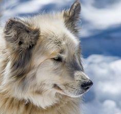 "Képtalálat a következőre: ""greenland dog"" I Love Dogs, Cute Dogs, Zoo Animals, Cute Animals, Greenland Dog, Raining Cats And Dogs, Wolf, Dogs And Puppies, Doggies"