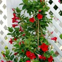 My favorite vine; Mandevilla.  It comes in red, pink or white.  I've used the red and loved it.
