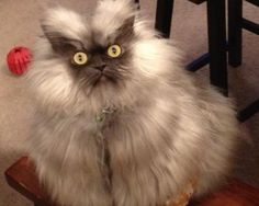 World's Angriest Cat: Colonel Meow.  Seriously, look him up on facebook or instagram, the captions to his photos are HILARIOUS
