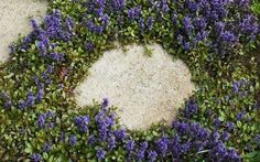 Ajuga Reptans Groundcover Seeds a.K.a Bugleweed, Blue Bugle .Shade loving Plant - Perennial !