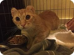 His ears were cut with scissors - now he needs lots of love! Domestic Shorthair Cat for adoption in Cleveland, Ohio - Julius