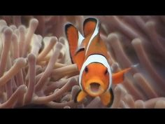 Symbiosis & Anemonefish - Reef Life of the Andaman - Part 18. In this video we look at how marine creatures form symbiotic relationships with other species in order to strengthen their chances of survival on the reef. Starring anemonefishes, as well as anemone crabs and jellyfish hitchhikers.