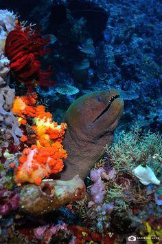 Moray Eel - Komodo Islands