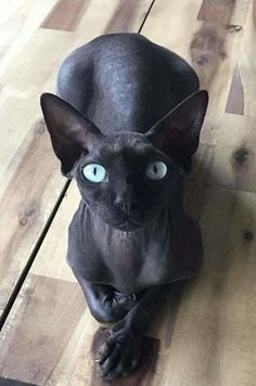 Untitled Hairless Cat Ideas of Hairless Cat Untitled The po - Hairless Cat - Ideas of Hairless Cat - Untitled Hairless Cat Ideas of Hairless Cat Untitled The post Untitled appeared first on Cat Gig. The post Untitled Hairless Cat Ideas of Ha Pretty Cats, Beautiful Cats, Animals Beautiful, I Love Cats, Crazy Cats, Cool Cats, Animal Gato, My Animal, Gato Sphinx