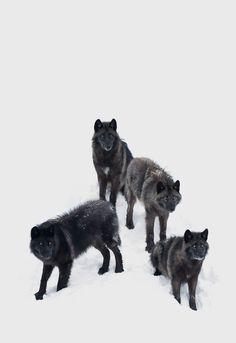 "johnnybravo20: "" Black Wolves (by Jim Cumming)"""