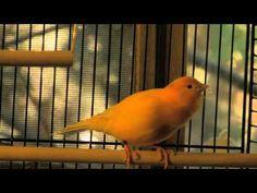 singing canary - YouTube
