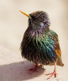 fairy-wren:  European Starling. Photo by Bugsy Bird that gathers in massive murmurations in Eirope and North America